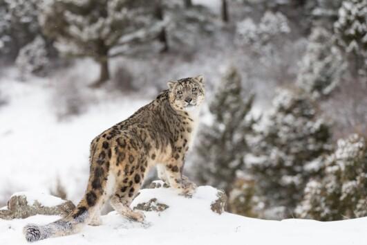 Ladakh Snow Leopard Adventure